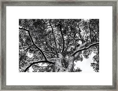 Scots Pine Monochrome Framed Print by Tim Gainey