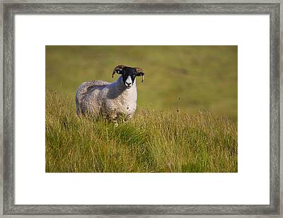 Scottish Blackface Sheep On Green Field Framed Print by Gabor Pozsgai