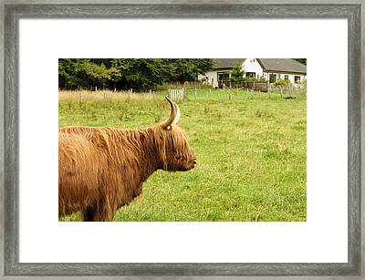 Framed Print featuring the photograph Scottish Cattle Farm by Christi Kraft