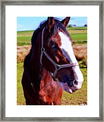 Scottish Clydesdale  Framed Print by Roger Wedegis