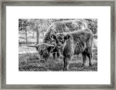 Scottish Highland Cattle Black And White Framed Print