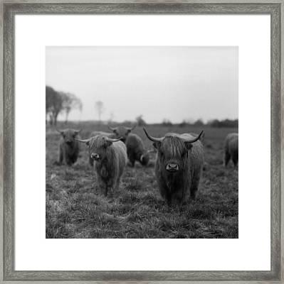 Scottish Highland Cattle On Field Framed Print by Stephan Ohlsen