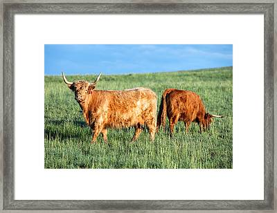 Scottish Highland Cattle Framed Print by Todd Klassy
