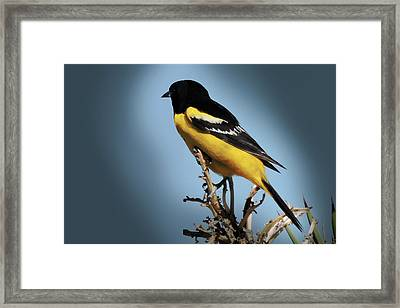 Scott's Oriole In Desert Framed Print by Penny Lisowski