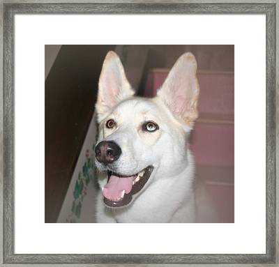 Scouty Framed Print by Amy Holmes