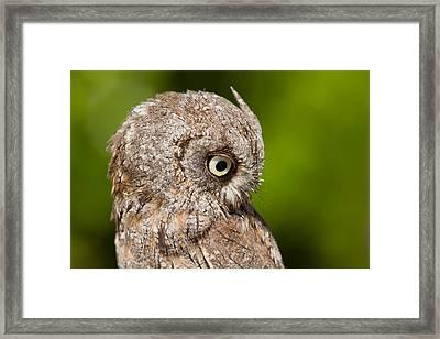 Screech Owl Portrait Framed Print by Roeselien Raimond