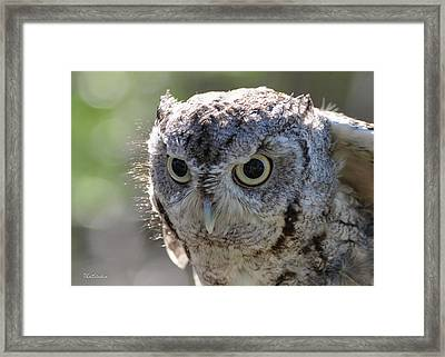 Screechowl Focused On Prey Framed Print