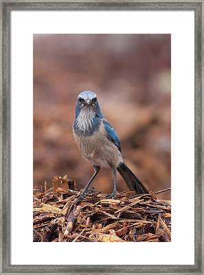 Scrub Jay On Chop Framed Print