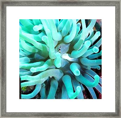 Sea Anemone And Squat Shrimp Framed Print by Amy McDaniel