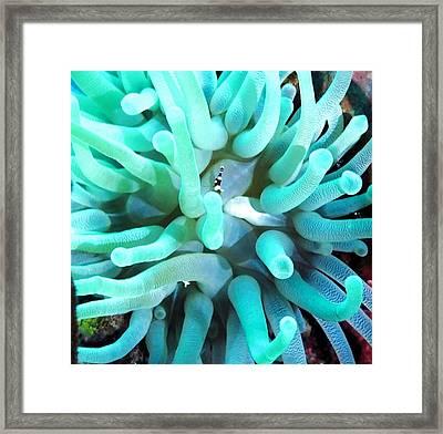 Sea Anemone And Squat Shrimp Framed Print