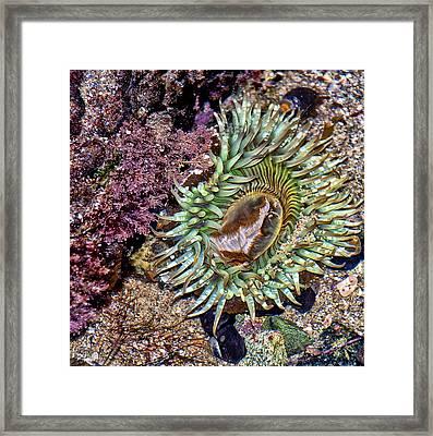 Sea Anemone Framed Print
