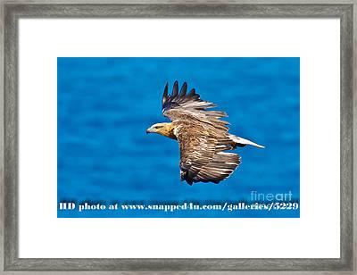 Sea Eagle 2 Framed Print