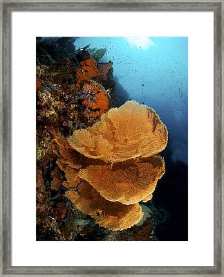 Sea Fan Coral - Indonesia Framed Print by Steve Rosenberg - Printscapes