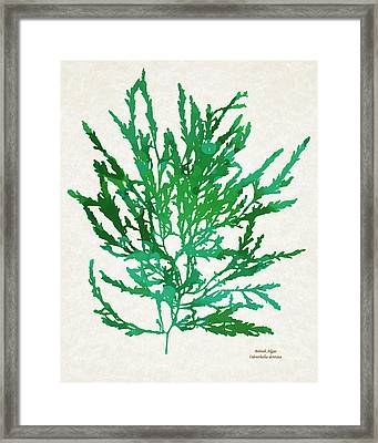 Sea Green Seaweed Art Odonthalia Dentata Framed Print