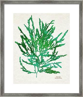 Sea Green Seaweed Art Odonthalia Dentata Framed Print by Christina Rollo
