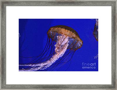 Sea Jelly Framed Print by Jeanette French