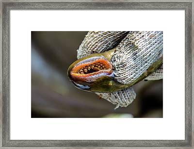 Sea Lamprey Framed Print