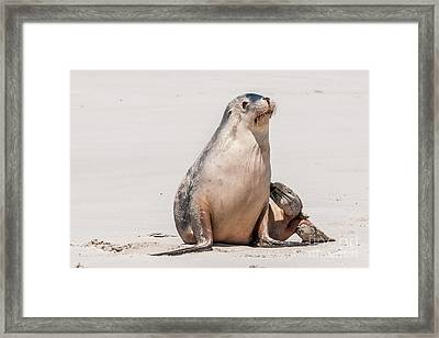 Sea Lion 1 Framed Print by Werner Padarin