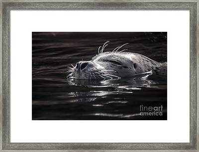 Sea Lion Basking In The Light Framed Print