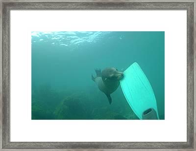 Sea Lion Biting A Diver Flipper Framed Print by Sami Sarkis