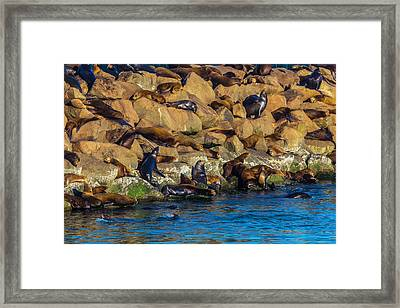 Sea Lion Coloney Framed Print by Garry Gay