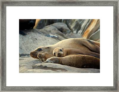 Sea Lion Family Framed Print