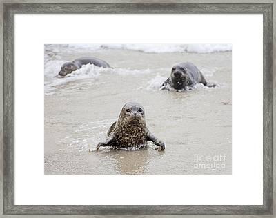 Sea Lion Pup Framed Print by Eddie Yerkish