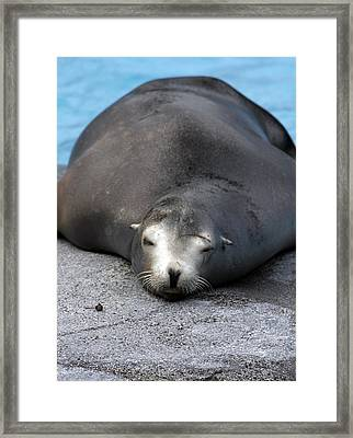 Sea Lion Snooze Framed Print