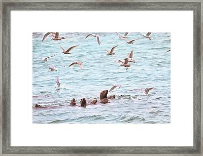 Sea Lions And Gulls - Herring Spawn Framed Print by Peggy Collins