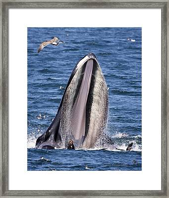Sea Lions Are Friends, Not Food Framed Print
