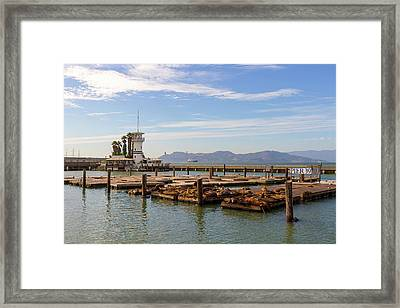 Sea Lions At Pier 39 In San Francisco Framed Print