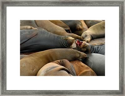 Sea Lions At Pier 39 San Francisco Framed Print