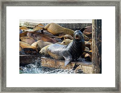 Sea Lions On The Floating Dock In San Francisco Framed Print
