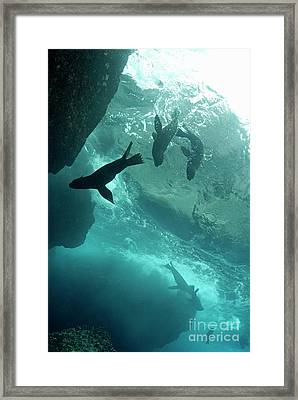 Sea Lions Framed Print by Sami Sarkis