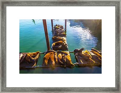 Sea Lions Sunning On Dock Framed Print by Garry Gay