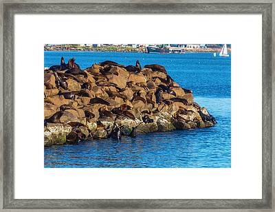 Sea Lions Sunning On Rocks Framed Print by Garry Gay