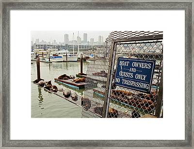 Sea Lions Take Over, San Francisco Framed Print