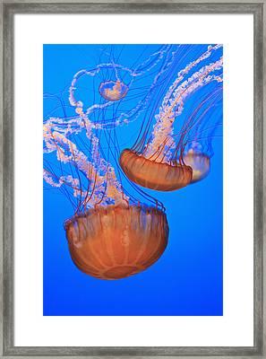 Sea Nettles Chrysaora Fuscescens In Framed Print