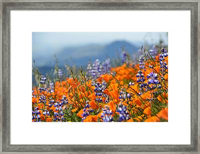 Sea Of California Wildflowers Framed Print by Kyle Hanson