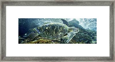 Sea Of Cortez Green Turtle Framed Print