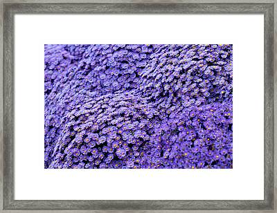 Sea Of Lavender Flowers Framed Print by Todd Klassy