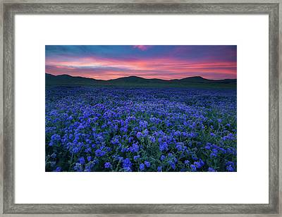 Sea Of Phacelia At Sunrise, Carrizo Plain National Monument Framed Print