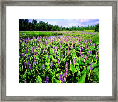 Sea Of Pickerelweed Framed Print