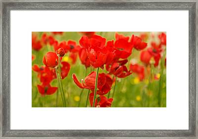 Sea Of Red Buttercups Framed Print
