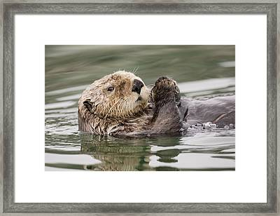 Sea Otter Profile Framed Print by Tim Grams