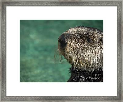 Sea Otter Stare Down Framed Print