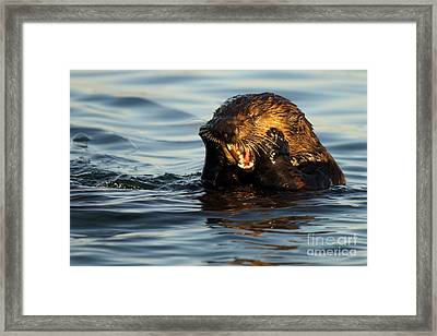 Sea Otter With A Toothache Framed Print by Max Allen