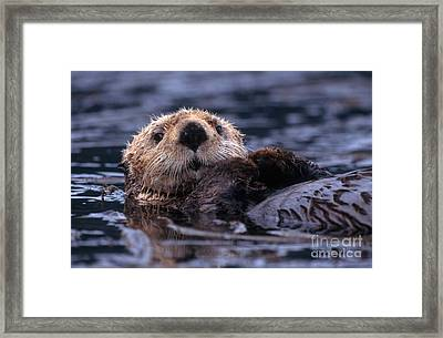 Sea Otter Framed Print by Yva Momatiuk and John Eastcott and Photo Researchers