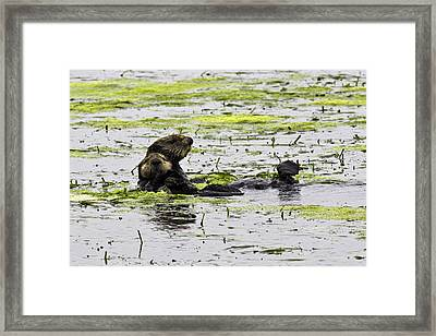 Sea Otters 1 Framed Print