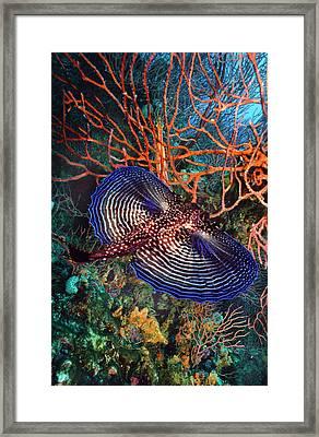 Sea Robin The Flying Gurnard Framed Print